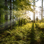 Sunbeams in Spring Forest